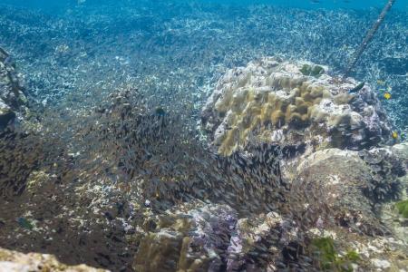 School of cardinalfish at Surin island Stock Photo - 17601434