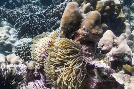 Anemonefish at Lipe island in Thailand Stock Photo - 17947464