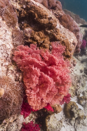 Colorful seafan at Lipe island in Thailand Stock Photo - 17947586