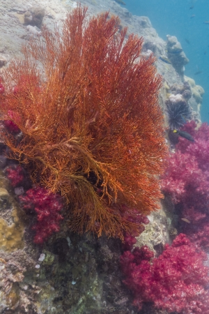 Colorful seafan at Lipe island in Thailand photo