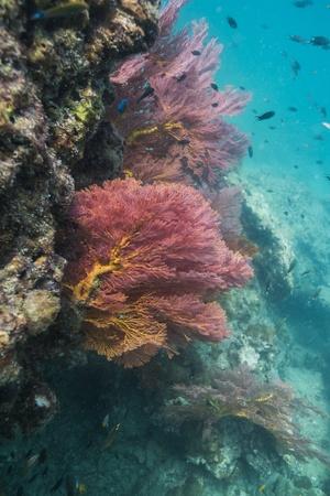 Colorful seafan at Lipe island in Thailand photo