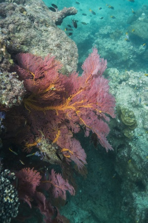 Colorful seafan at Lipe island in Thailand Stock Photo - 17947518