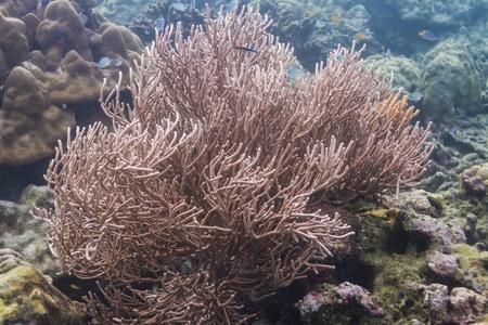 Black coral at Surin island in Thailand photo