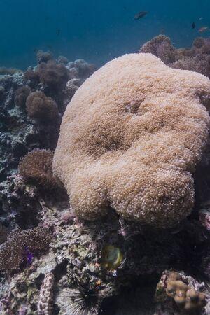 bubblegum: Rounded bubblegum coral at Lipe island
