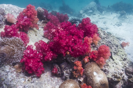 Soft coral at Lipe island in Thailand Stock Photo - 18084543