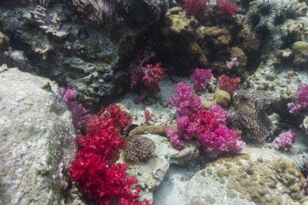 Soft coral at Lipe island in Thailand Stock Photo - 18084537