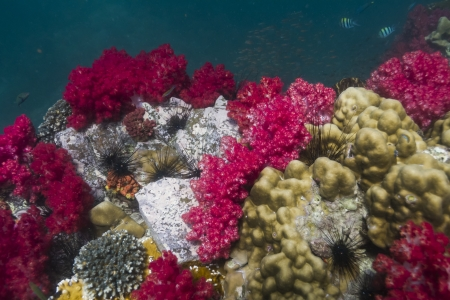 Soft coral at Lipe island in Thailand photo