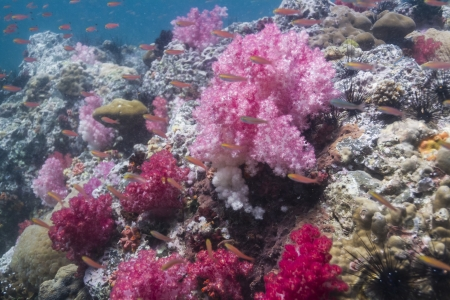 Soft coral at Lipe island in Thailand Stock Photo - 18084546