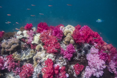 Soft coral at Lipe island in Thailand Stock Photo - 18084555