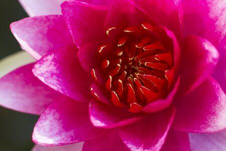 Beautiful Thai pink lotus in the pool Stock Photo - 18218481