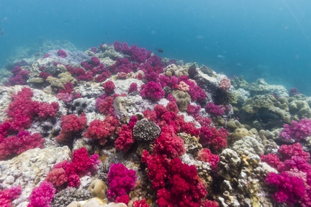 polyps: Soft coral at Lipe island in Thailand