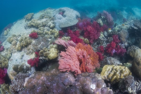 seafan: Colorful seafan at Lipe island in Thailand