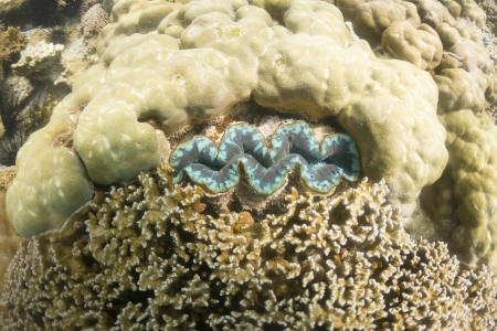 Giant clam at Lipe island in Thailand Stock Photo