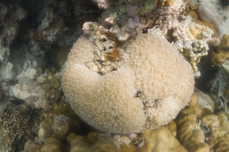 Tipped bubblegum coral at Lipe island in Thailand photo