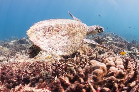 surin: Hawksbill sea turtle at Surin national park in Thailand
