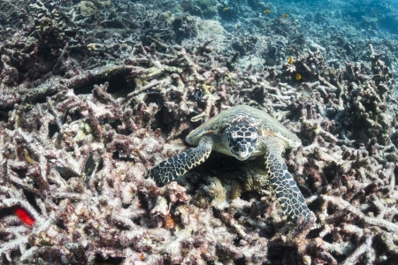 Hawksbill sea turtle at Surin national park in Thailand Stock Photo - 19261613