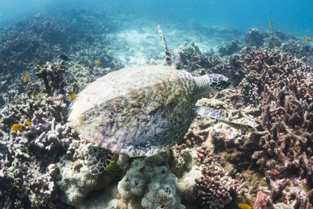 Hawksbill sea turtle at Surin national park in Thailand photo