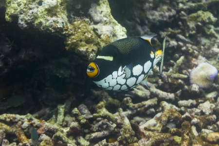balistoides: Clown triggerfish at Surin national park in Thailand