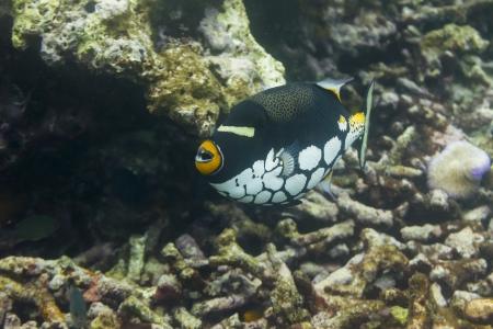 triggerfish: Clown triggerfish at Surin national park in Thailand