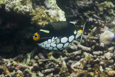 Clown triggerfish at Surin national park in Thailand photo