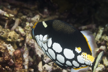 balistoides conspicillum: Clown triggerfish at Surin national park in Thailand