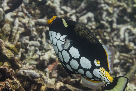 Clown triggerfish at Surin national park in Thailand Stock Photo - 19261828