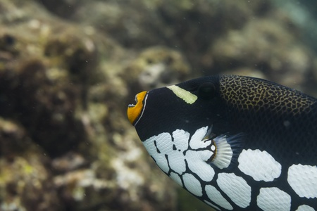 conspicillum: Clown triggerfish at Surin national park in Thailand