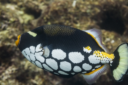 clown triggerfish: Clown triggerfish at Surin national park in Thailand