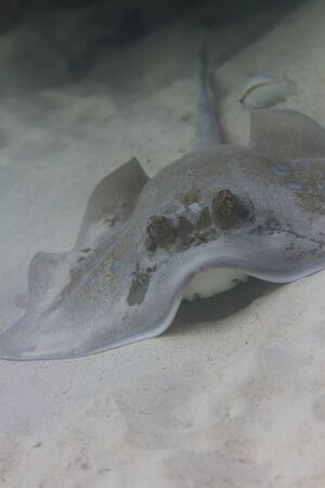 bluespotted: Bluespotted stingray at Surin island in Thailand