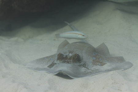 Bluespotted stingray en la isla de Surin en Tailandia photo