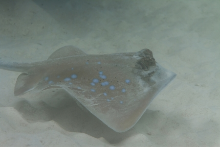 Bluespotted stingray at Surin island in Thailand