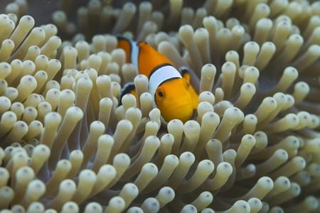 Anemonefish at Surin national park in Thailand Stock Photo - 19361690