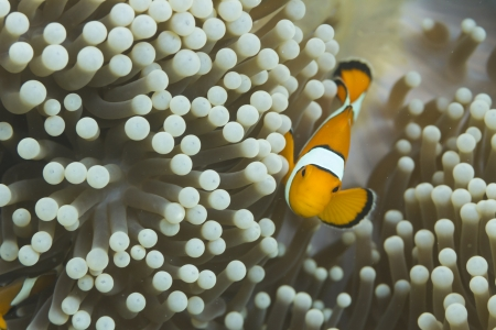 Anemonefish at Surin national park in Thailand photo