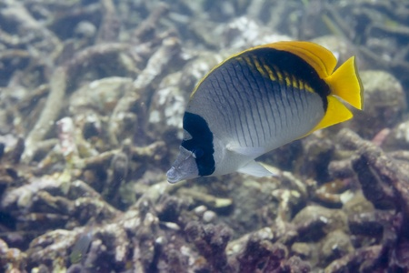 Lined butterflyfish at Surin island in Thailand photo