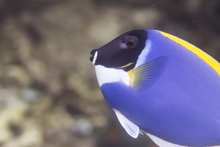 butterflyfish: Powder blue tang at Surin national park in Thailand Stock Photo