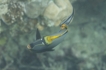 Elegant unicornfish at Surin island at Surin island in Thailand Stock Photo - 19361879