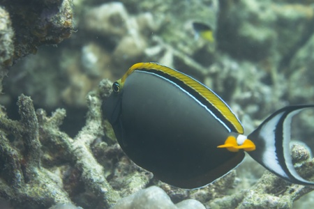 Elegant unicornfish at Surin island at Surin island in Thailand photo