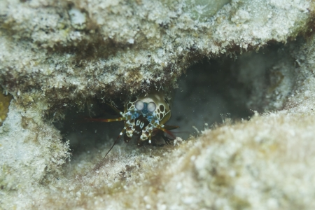 Reef mantis shrimp at Surin island in Thailand photo