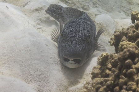 Star pufferfish at Surin island in Thailand photo