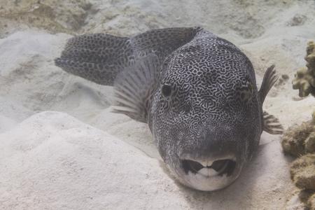 arothron: Star pufferfish at Surin island in Thailand