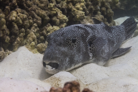 arothron: Star pufferfish at Surin island in Thailand