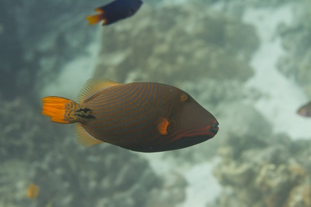Orange lined triggerfish at Surin island in Thailand Stock Photo - 19361891
