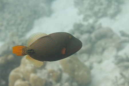 Orange lined triggerfish at Surin island in Thailand Stock Photo - 19361880