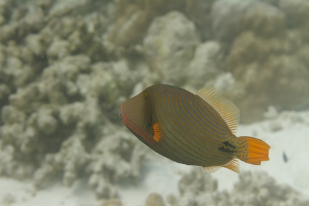 Orange lined triggerfish at Surin island in Thailand photo