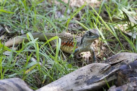 Common butterfly lizard at Huai Kha Khaeng wildlife sanctuary in Thailand Stock Photo