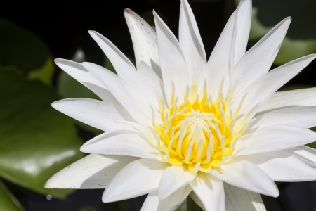 Blooming white lotus in the pool Stock Photo