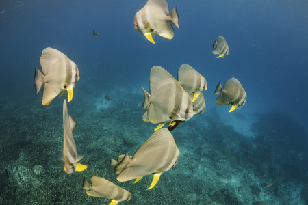 longfin: Longfin batfish at Surin national park in Thailand