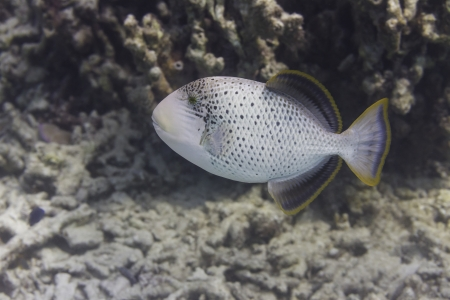 Yellowmargin triggerfish at Surin national park in Thailand Stock Photo - 24443121