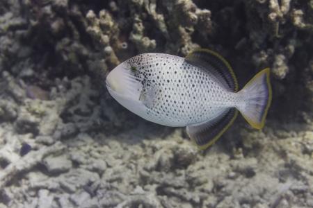 Yellowmargin triggerfish at Surin national park in Thailand Stock Photo - 24443121