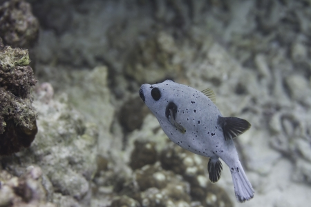 Blackspotted puffer at Surin national park in Thailand